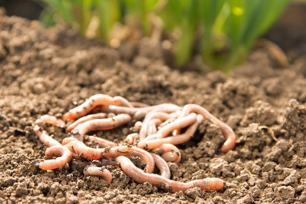 Местные черви лучше приспособлены к погоде и почвам