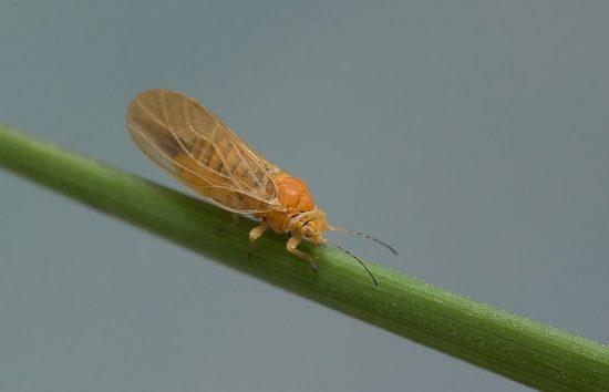Как бороться и чем обработать грушу от грушевой медяницы