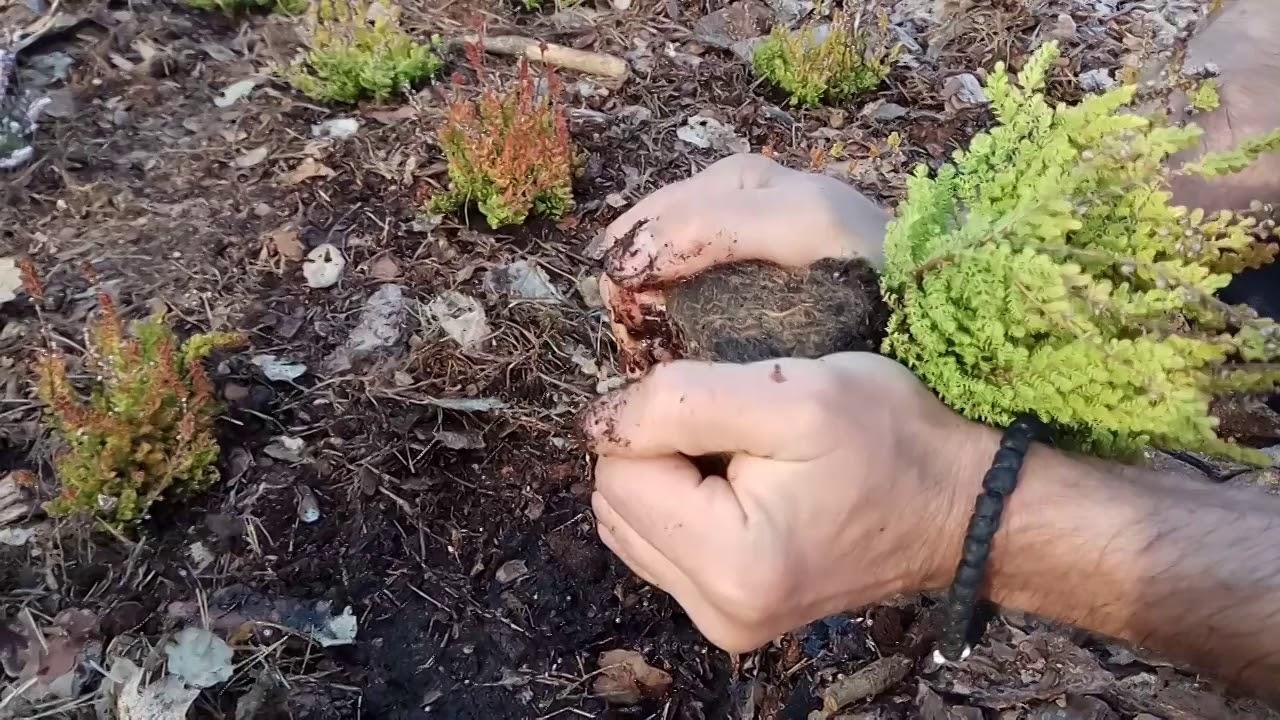 Вереск: посадка и уход в открытом грунте, когда и как сажать