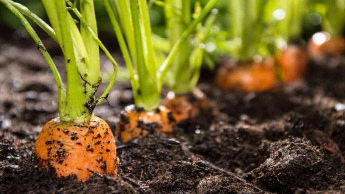Почему стоит сеять морковь с кофе