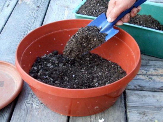 Как выращивать базилик из семян на рассаду дома