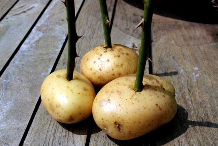 Черенки роз в картофеле.   Фото: Pinterest.