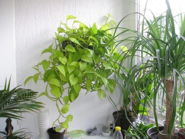 Эпипремнум перистый «Неон» (Epipremnum pinnatum 'Neon')