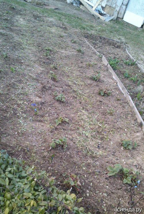 Клубника ( земляника) ранней весной