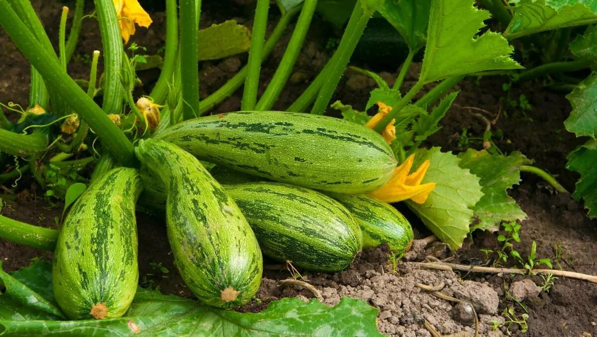 Овощ, без которого не обходится ни один огород. Какие кабачки выбрать для посадки