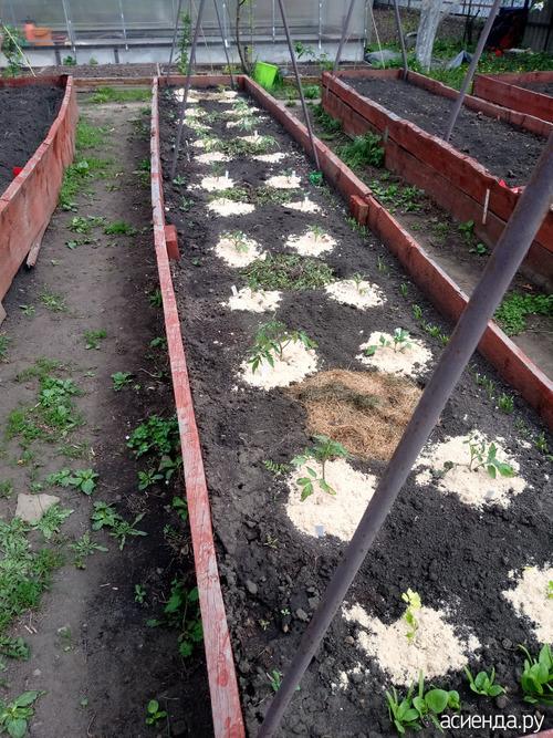 Новый способ посадки помидоров пробую в этом году.