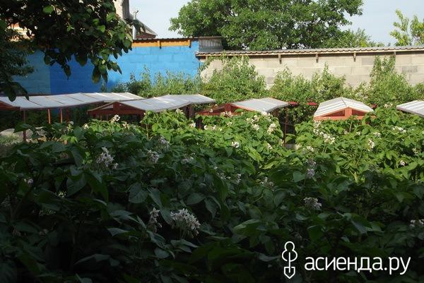Картофельные цветы от суставных болей