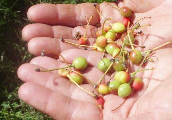 На вишне краснеют ягодки: чем подкормить ее, чтобы они были слаще, крупнее и не опали